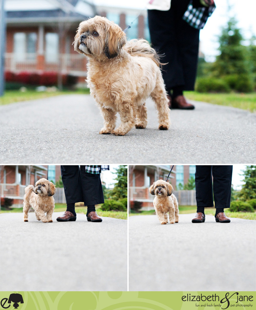 Maggie the Shih-Poo