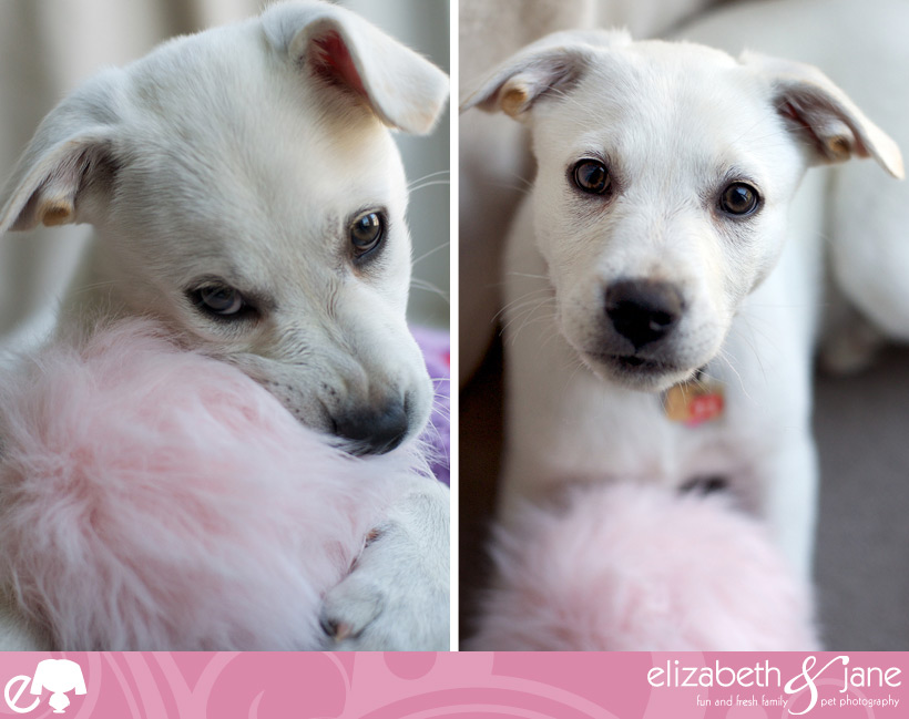 Dog Photos: two photos of a white lab puppy playing with a pink fuzzy ball