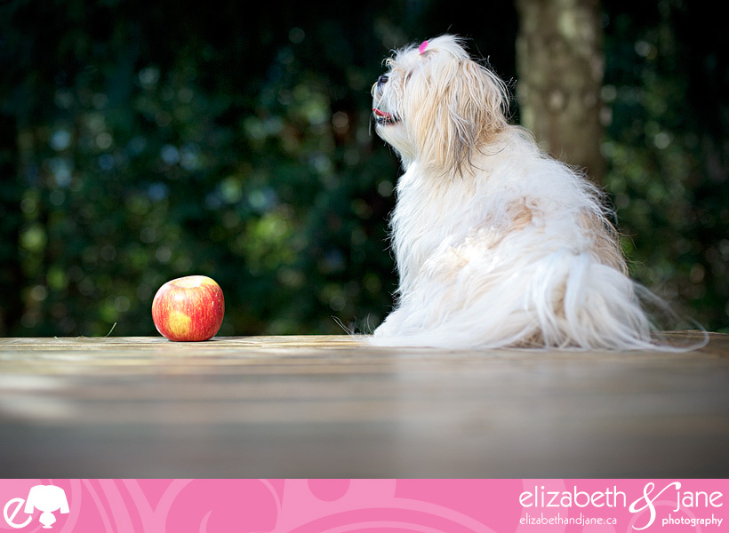 Dog photo: a cute Maltese/ShihTzu dog sits beside an apple