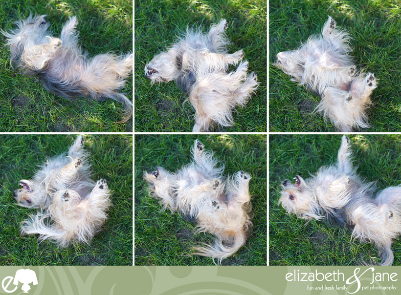 Dog photo: a cute Maltese/Yorkie dog prepares to roll in the grass