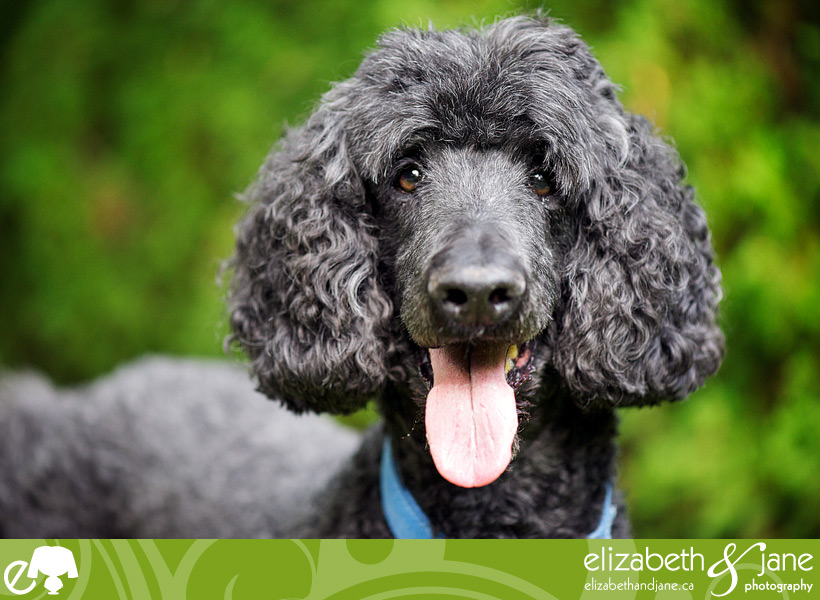 Dog Photo: portrait of a standard poodle