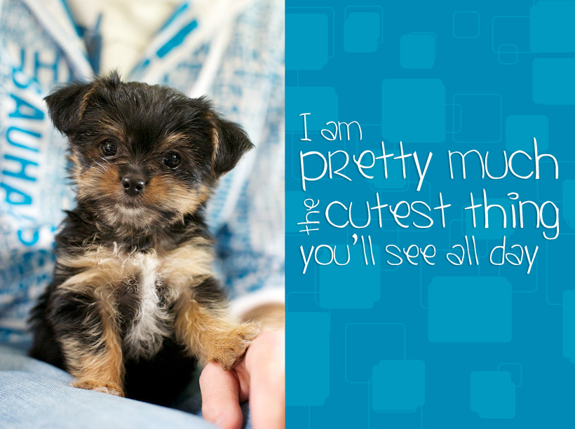 Dog Photo: cute 9 week old Yorkie/ShihTzu mix