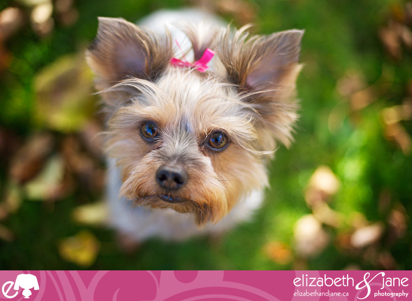 Dog photo: Yorkshire Terrier looking up a the camera with grass and leaves in the fall