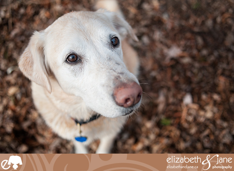 Dog Photo: Jenga, a golden lab, looking up