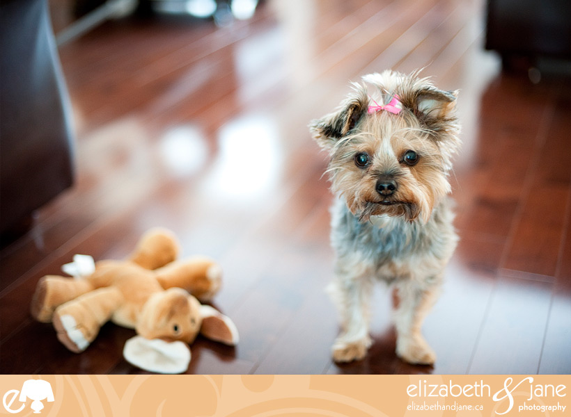 Dog photo: Yorkie standing with her toy