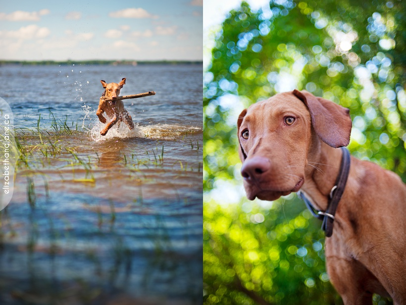 Ottawa dog photographer Gus the Vizsla sneak peek