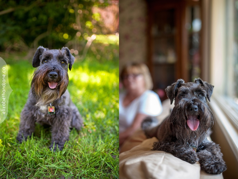 Bear the Schnauzer, photographed in Ottawa by Liz Bradley of elizabeth&jane photography https://elizabethandjane.ca