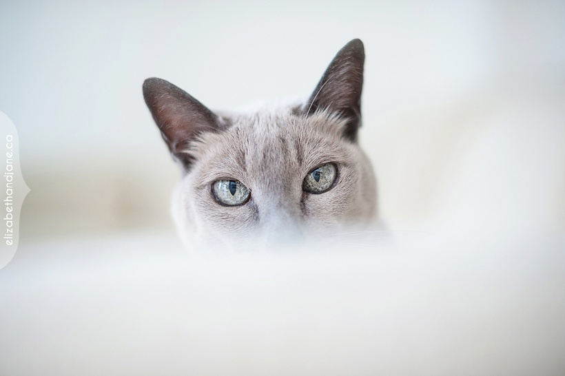 Tiny the Tomkinese Cat photographed by Liz Bradley of elizabeth&jane photography https://elizabethandjane.ca/
