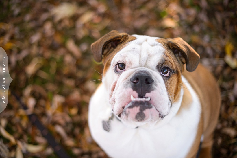 Harley the bulldog photographed in Ottawa by Liz Bradley of elizabeth&jane photography