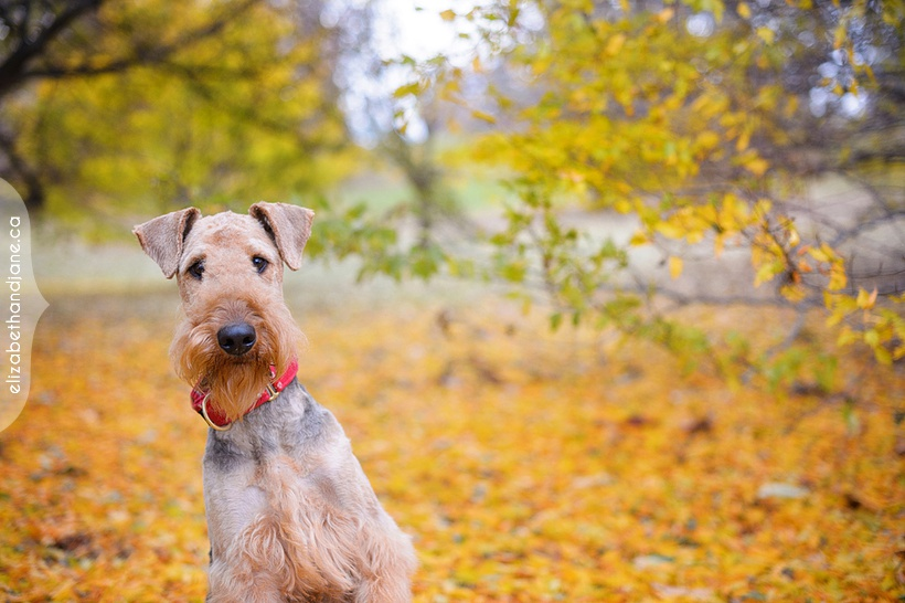 Nestor the Airedale Terrier, photographed by Liz Bradley of elizabeth&jane photography in Ottawa.