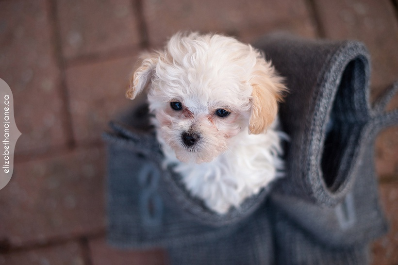 Sophie the puppy photographed by Liz Bradley of elizabeth&jane photography