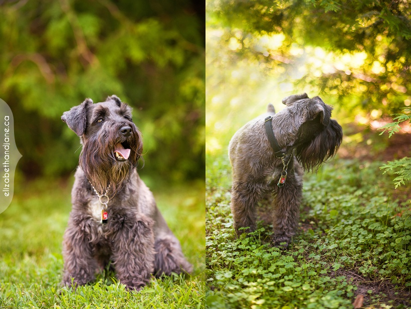 Bear the Schnauzer photographed in Ottawa by Liz Bradley of elizabeth&jane photography