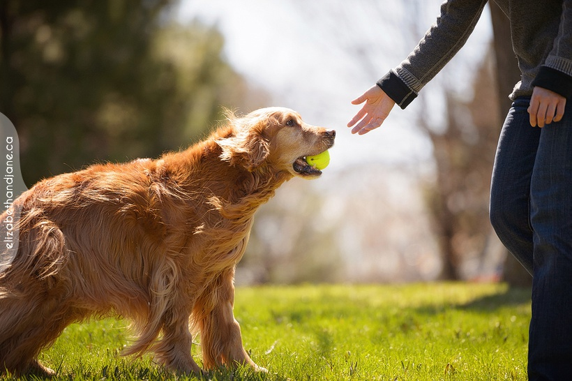 Fenway the golden retriever photographed in Ottawa by Liz Bradley of elizabeth&jane photography