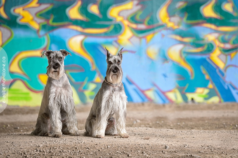 Hugo and Cleo the standard schnauzers photographed in Ottawa by Liz Bradley of elizabeth&jane photography