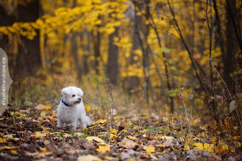 Murphy the Bichon Frise photographed in Ottawa by Liz Bradley of elizabeth&jane photography