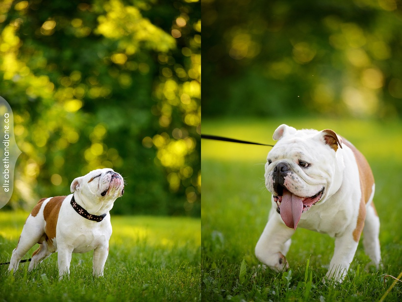 Wrinkles' dog session in Manotick Ottawa photographed by Liz Bradley of elizabeth&jane photography