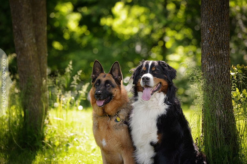 Koady and Enzo's dog session photographed in Manotick Ottawa by Liz Bradley of elizabeth&jane photography