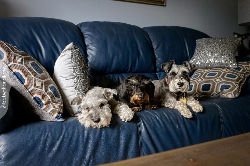 Patsy, Sophie and Lucy the dogs photographed in Manotick, Ottawa by Liz Bradley of elizabeth&jane photography.